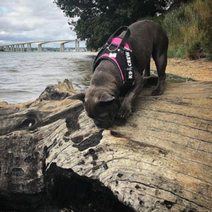 K9 CREW Pink Harness-0